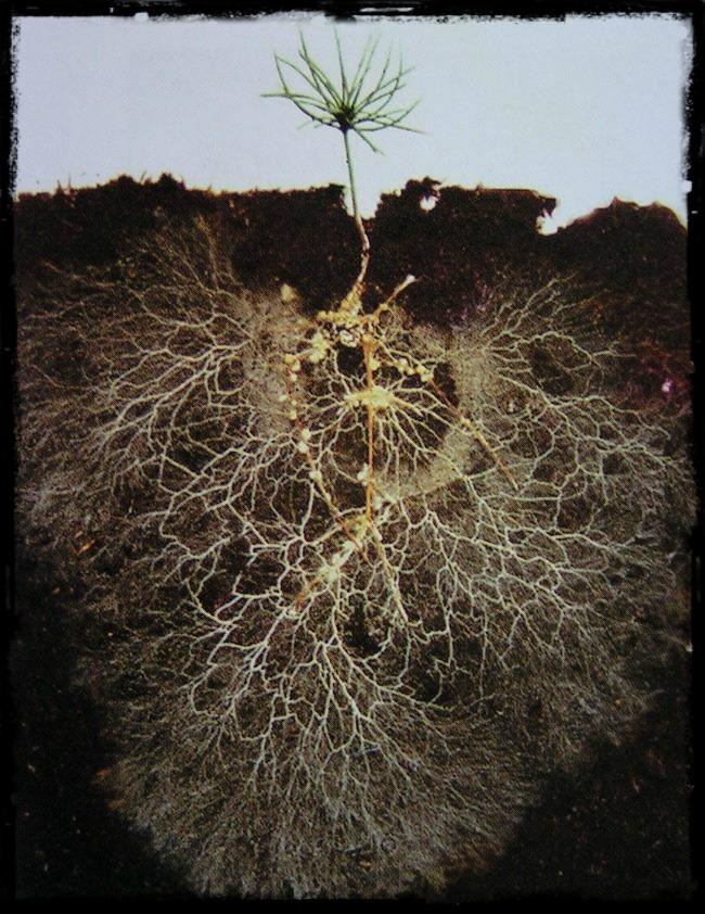 pine tree mycelium