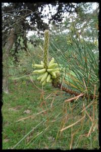 pine pollen border 5